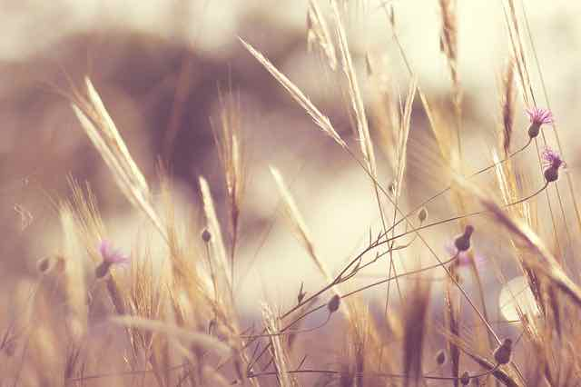 wheat grasses and flowers