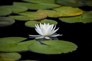 Lotus Flower meditation